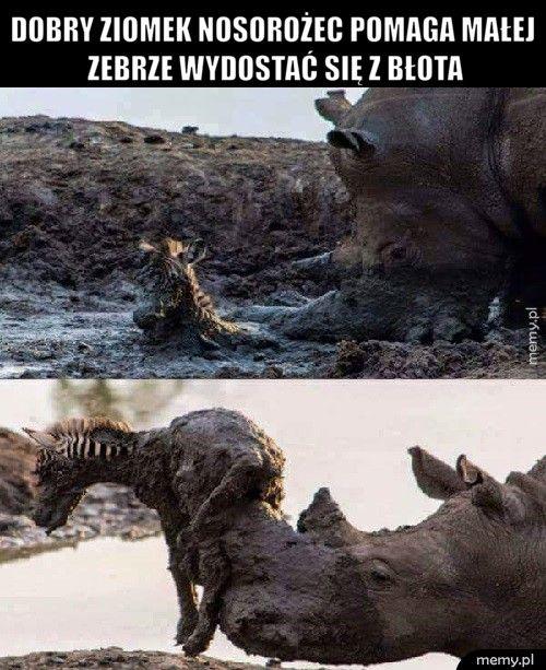 Dobry ziomek nosorożec pomaga małej zebrze wydostać się z błota