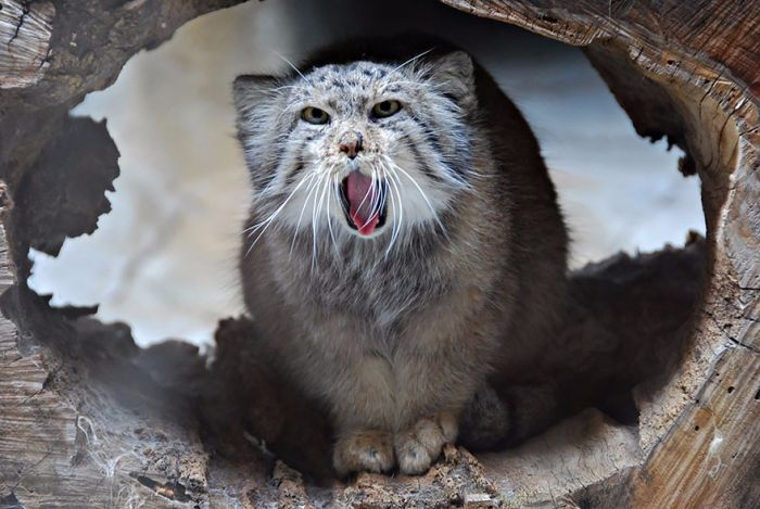Azjatycki kot, wyglądający jak podróbka