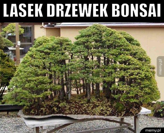 Lasek drzewek bonsai