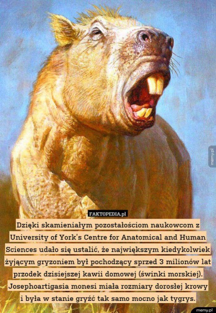 Świnka morska sprzed 3 milinów lat