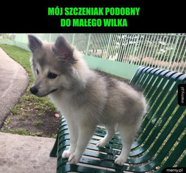 Mały wilk