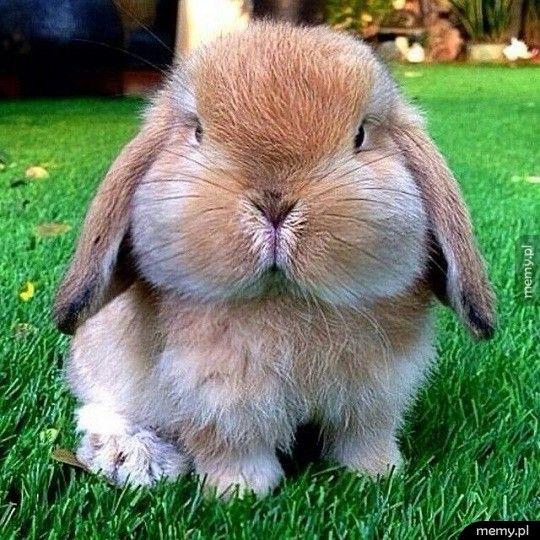 Naburmuszony króliczek