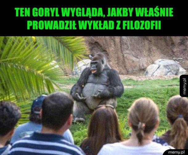 Zabawny goryl