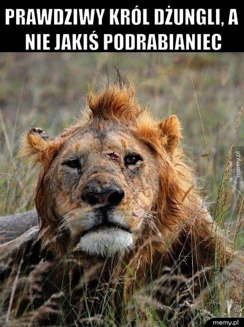 Prawdziwy król dżungli, a nie jakiś podrabianiec