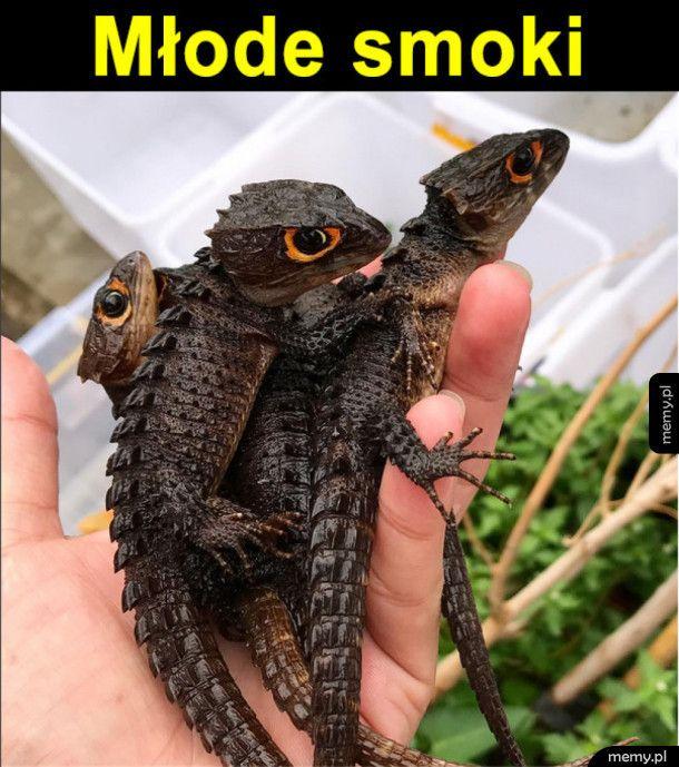 Scynk krokodylowy