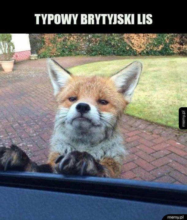 Brytyjski lis