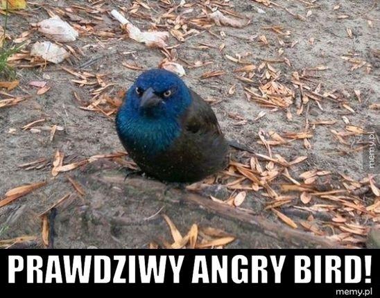Prawdziwy angry bird!