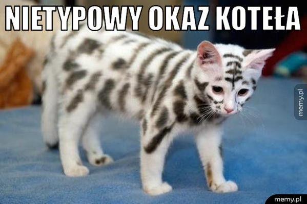 Nietypowy okaz koteła