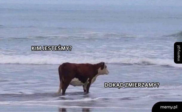 Rozmyślająca krowa