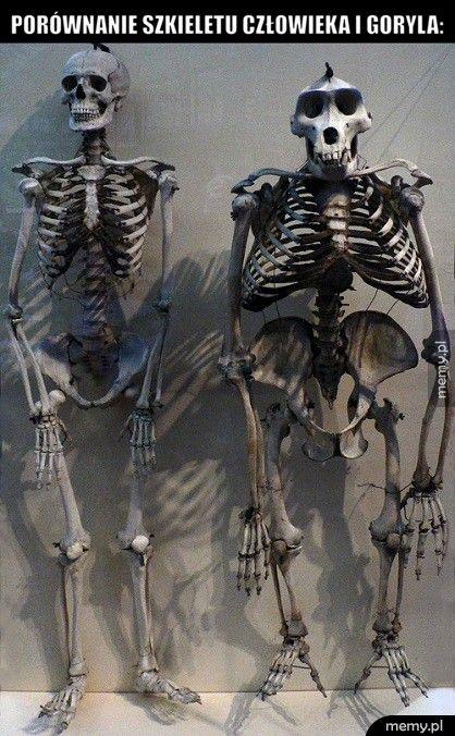 Porównanie szkieletu człowieka i goryla: