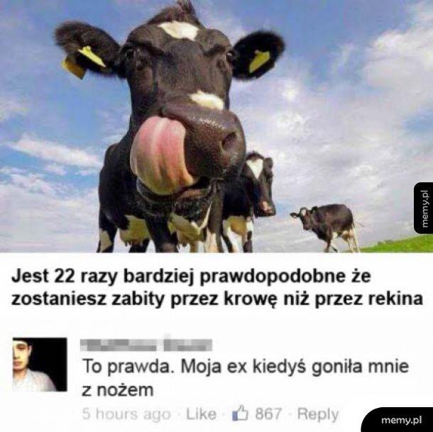 Niebezpieczna krowa
