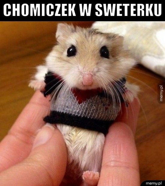 Chomiczek w sweterku
