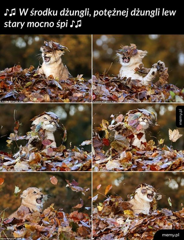 Król dżungli i jesiennych liści