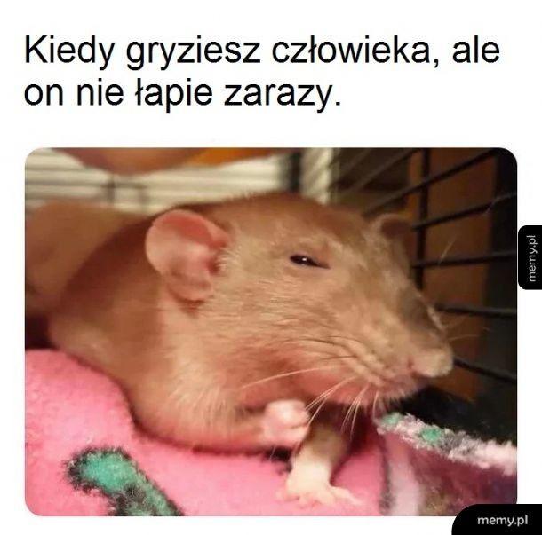 Szczury!