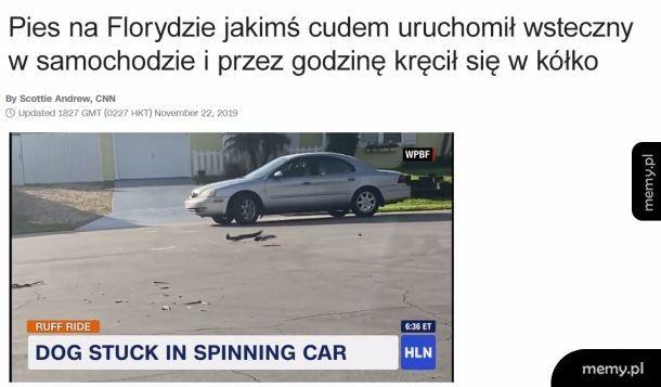 Pieseł w samochodzie