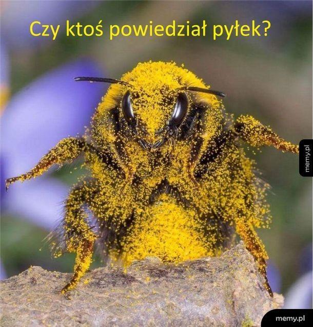 Trzmiele lubią pyłek