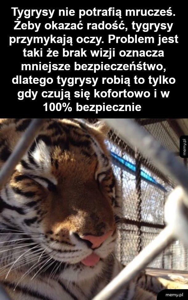 Ciekawostka o tygryskach