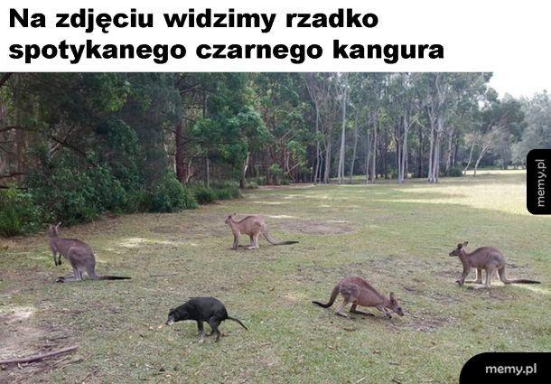 Czarny kangur