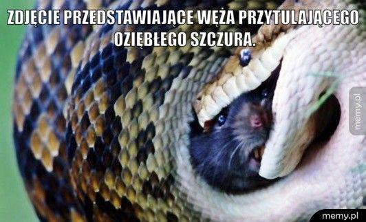 zdjęcie przedstawiające węża przytulającego oziębłego szczura.