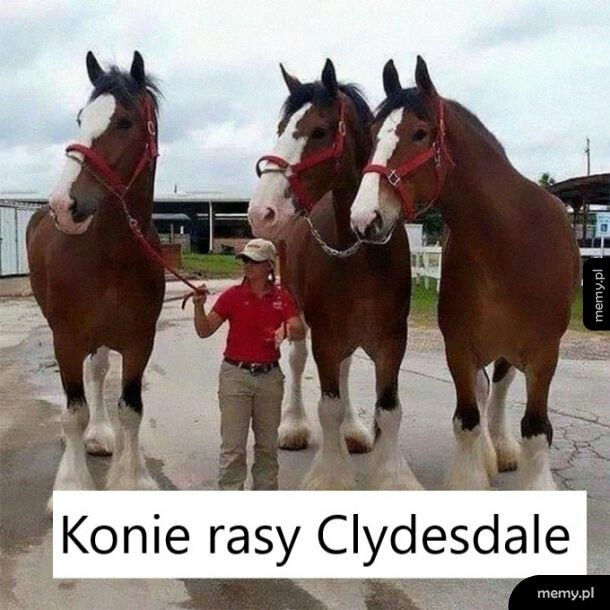 Rasa Clydesdale