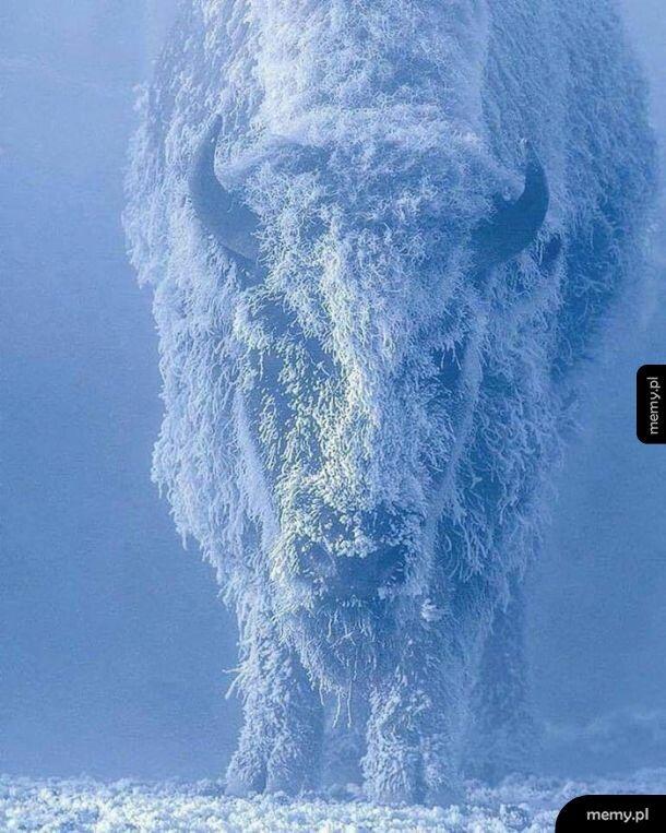 Bizon przy temperaturze -35 stopni Celsjusza w Parku Narodowym Yellowstone