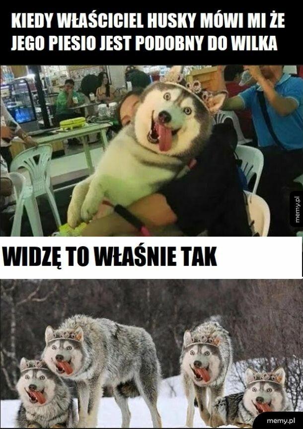 Bardzo wilczy pies