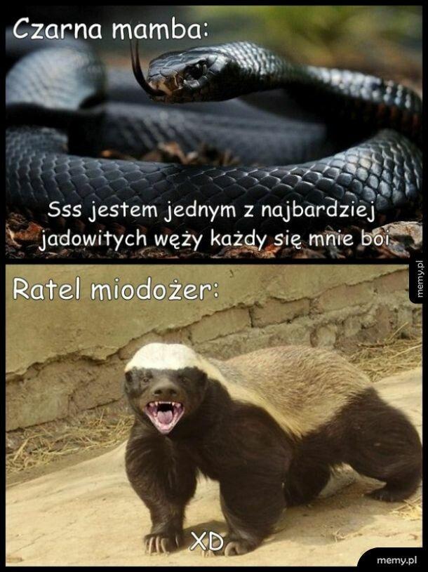 Rodzina kanadyjskiego Rosomaka i polskiego Borsuka.