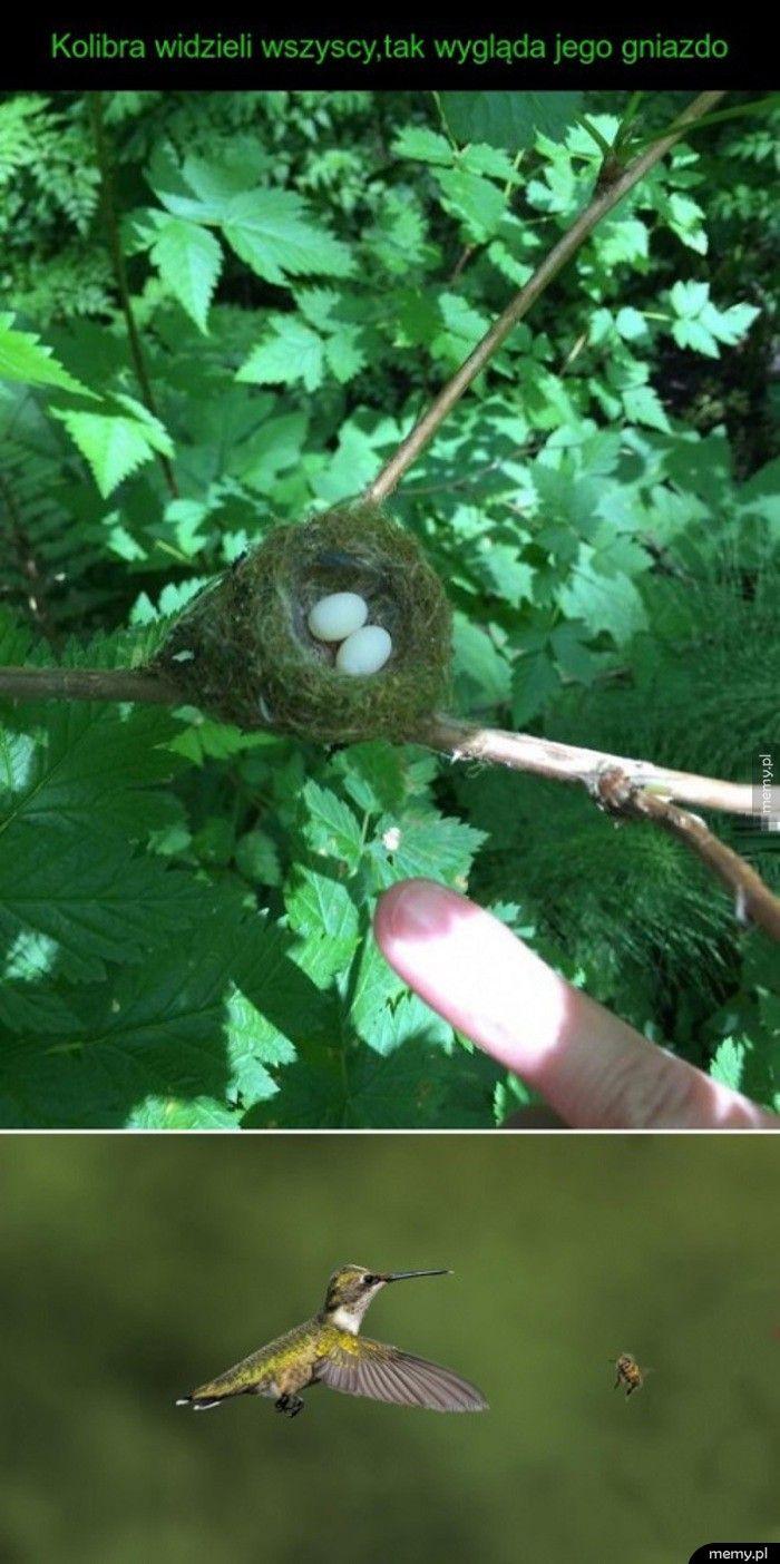 Gniazdo kolibra