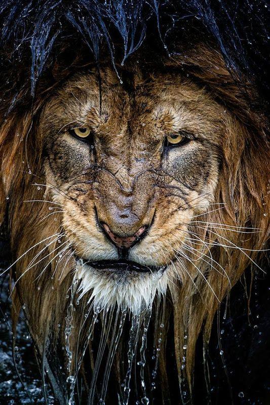 Lew sfotografowany przez Erica Esterle.