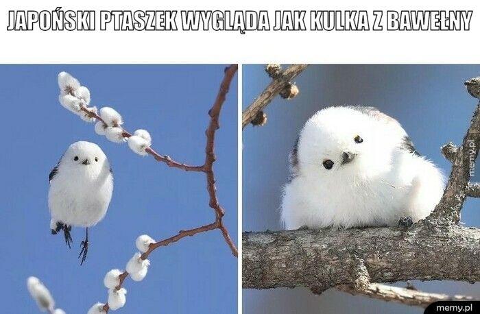 Japoński ptaszek wygląda jak kulka z bawełny