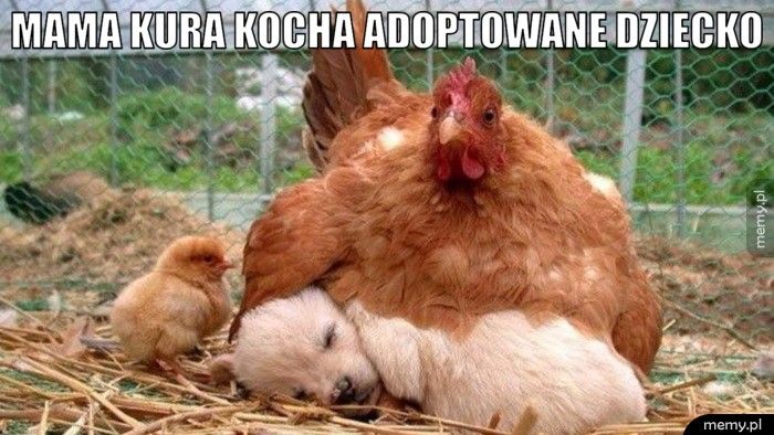 Mama kura kocha adoptowane dziecko.