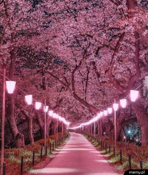 Ulica kwitnących wiśni - Japonia