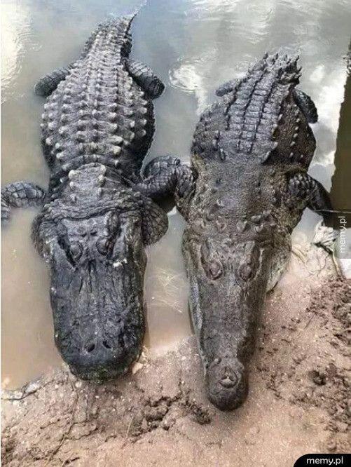 Różnica między aligatorem (z lewej) i krokodylem (po prawej)