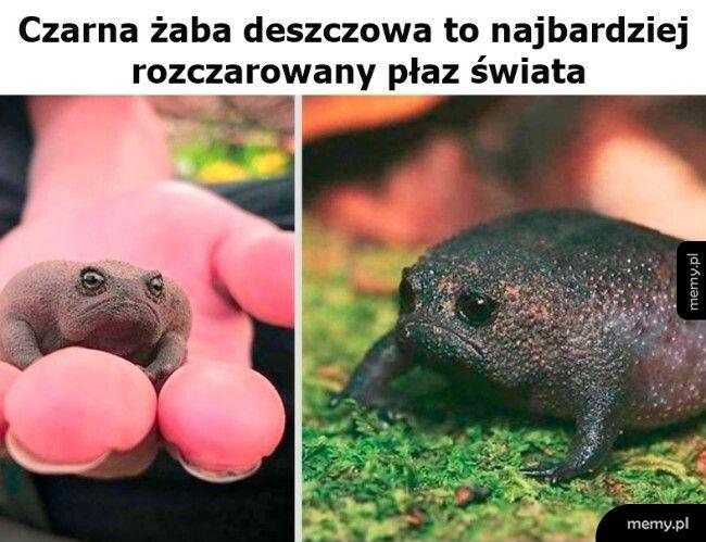Czarna żaba deszczowa