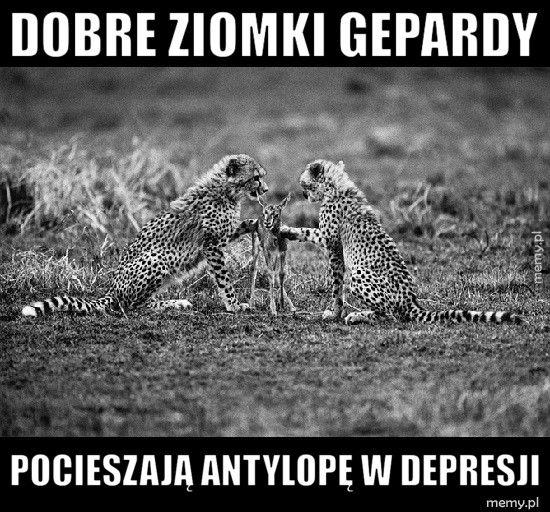 Dobre ziomki gepardy Pocieszają antylopę w depresji