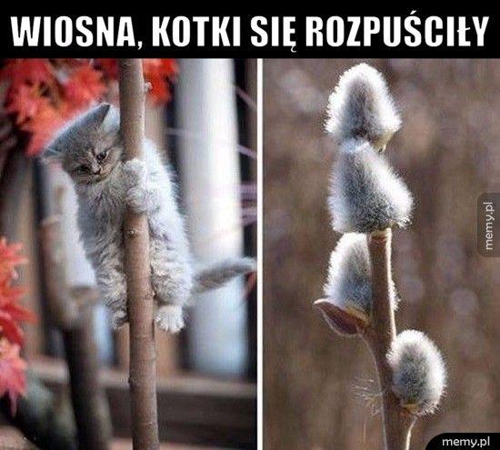 Wiosna, kotki się rozpuściły