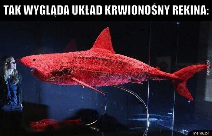 Tak wygląda układ krwionośny rekina: