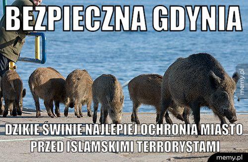 Bezpieczna Gdynia Dzikie świnie najlepiej ochronią miasto przed islamskimi terrory