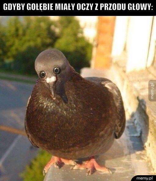 Gdyby gołębie miały oczy z przodu głowy: