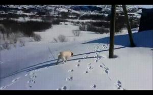 Pieseł lubi śnieg
