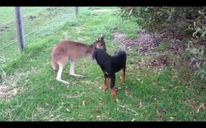 Nie wszystkie kangury biją psy