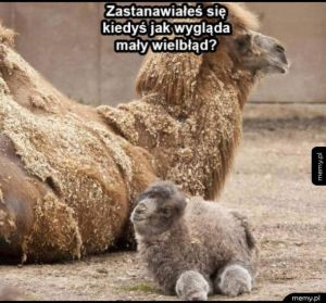 Tak wygląda wielbłąd