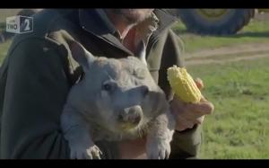 Głodny wombat