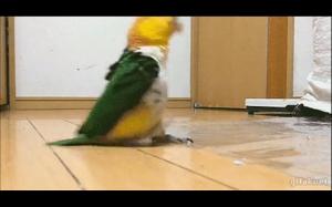 Papuga maszeruje