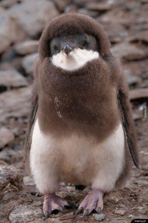 Maleńki pingwinek