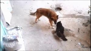 Kot przedstawia małym kotkom swojego kumpla psa