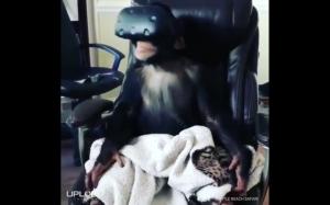 Małpa testuje gogle VR