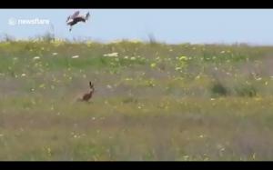 Odważny królik