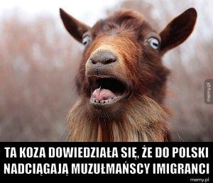 Polska koza dowiedziała się o uchodźcach