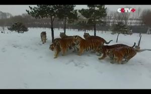 Tygrysy vs dron